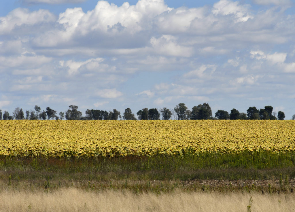 A field of sunflowers, Free State province