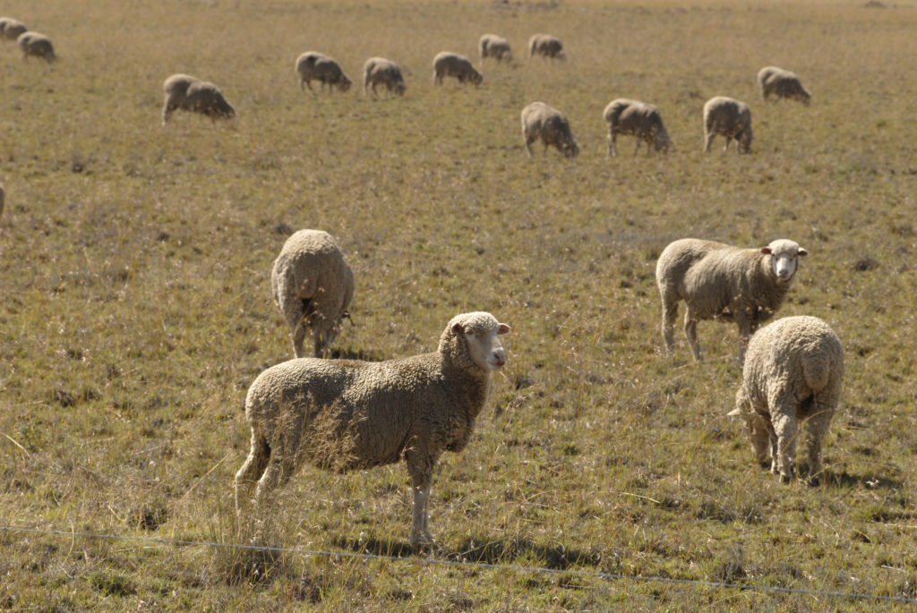 South Africa, Free State: A sheep farm