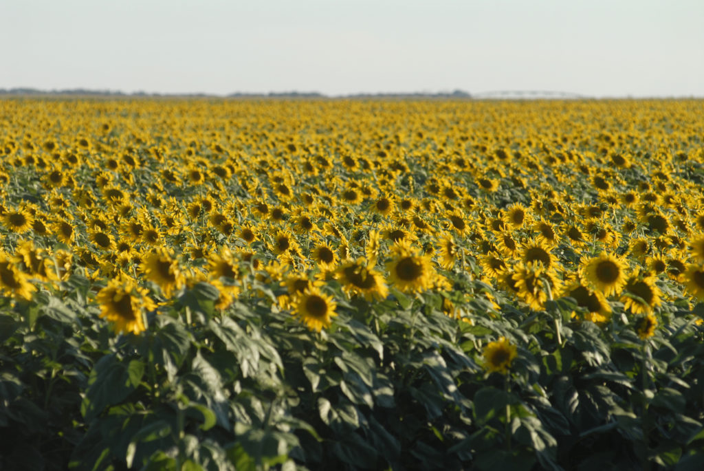 Free State province: Sunflower fields in the Western Free State