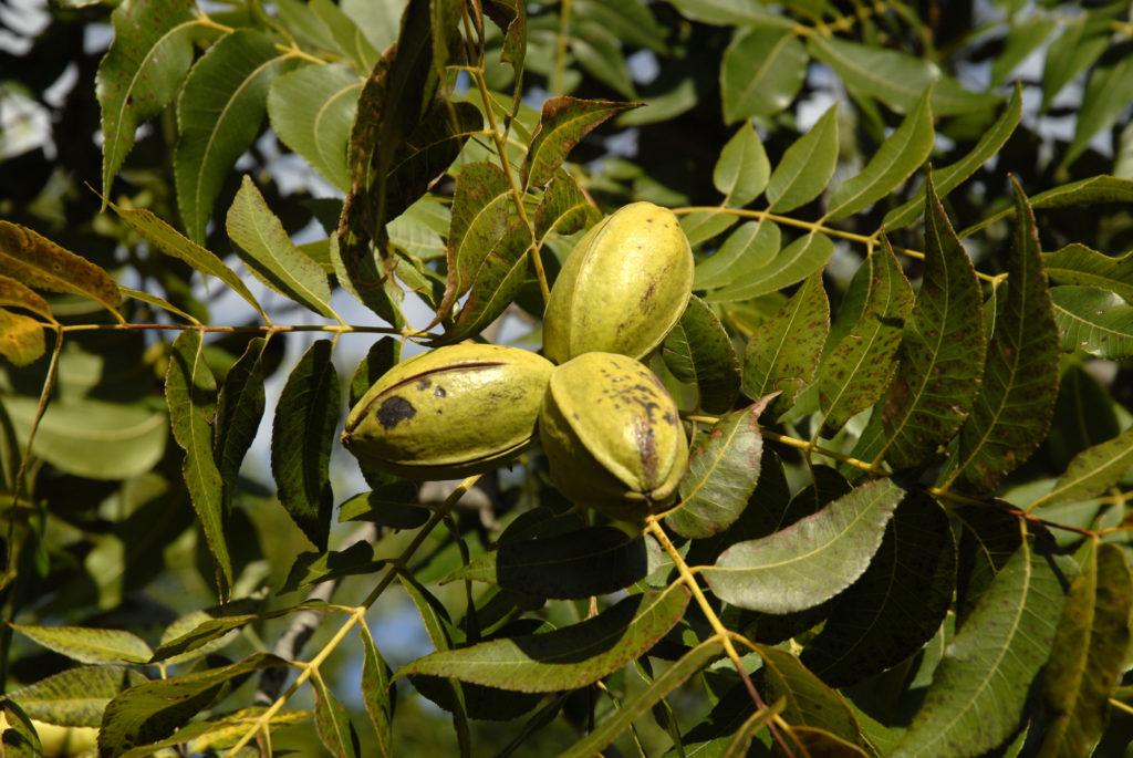 Northern Cape Province: VaalHarts Irrigation Schem. Pecan nuts