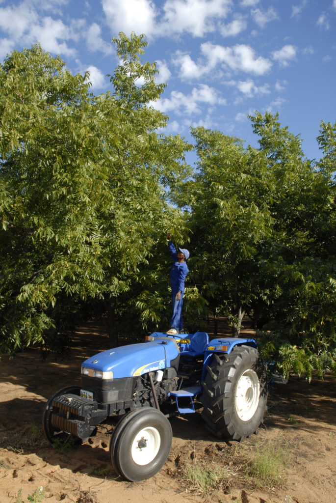 South Africa, Northern Cape: Willem Nkosi, a worker on a pecan farm