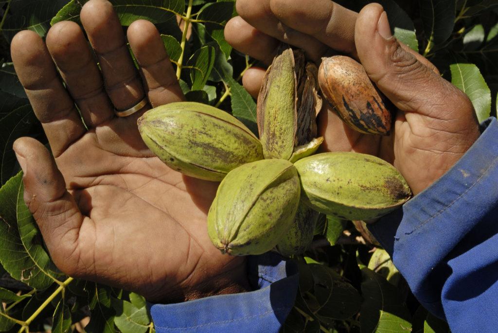 Northern Cape: Pecan-nut orchard in the Vaalharts Irrigation Scheme region