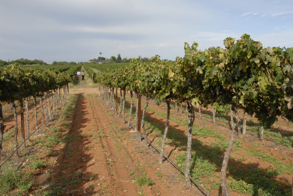 Northern Cape province: The picturesque vineyards on the Melkstroom farm