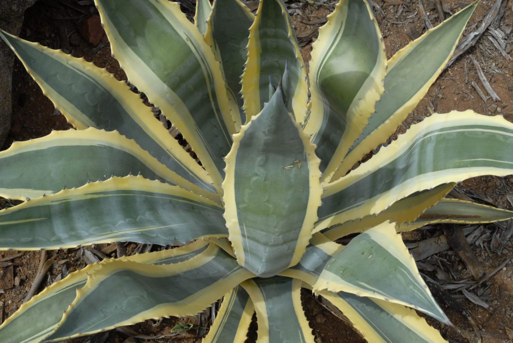 Northern Cape: Succulents that grow in the harsh desert landscape
