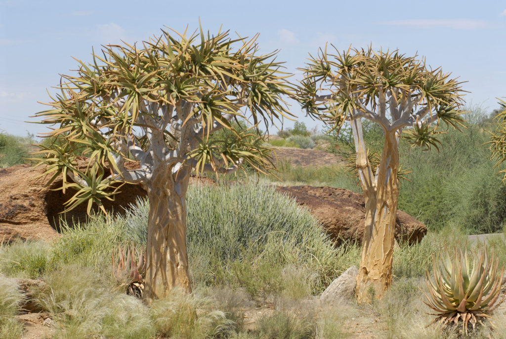 Northern Cape province: Quiver trees