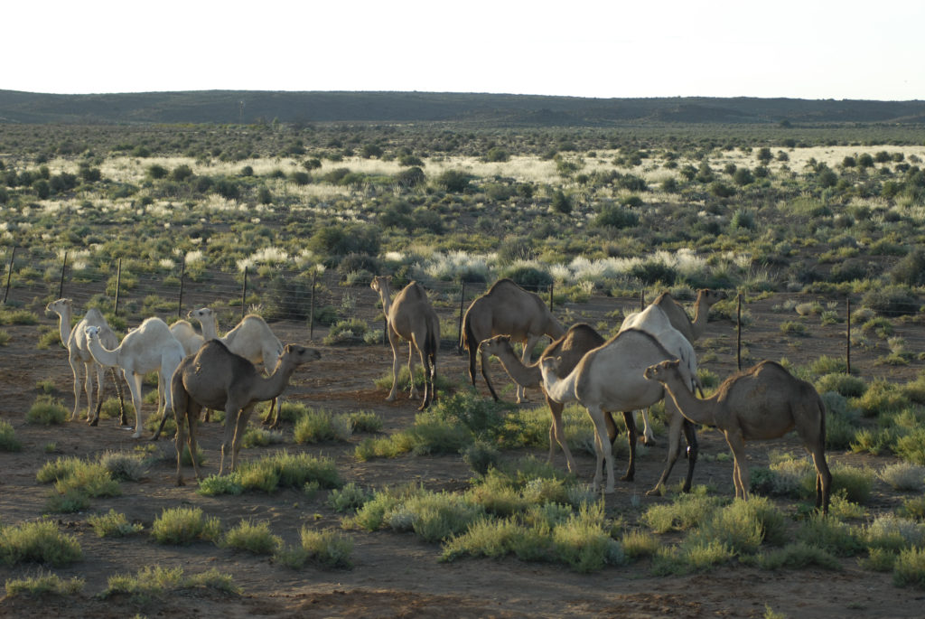 South Africa, Northern Cape: Camels thrive in the desert environment.