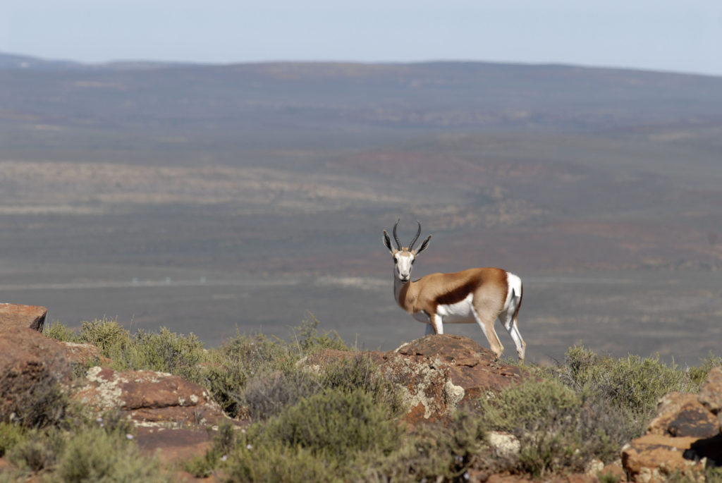 The Springbok, South Africa's national animal, Northern Cape
