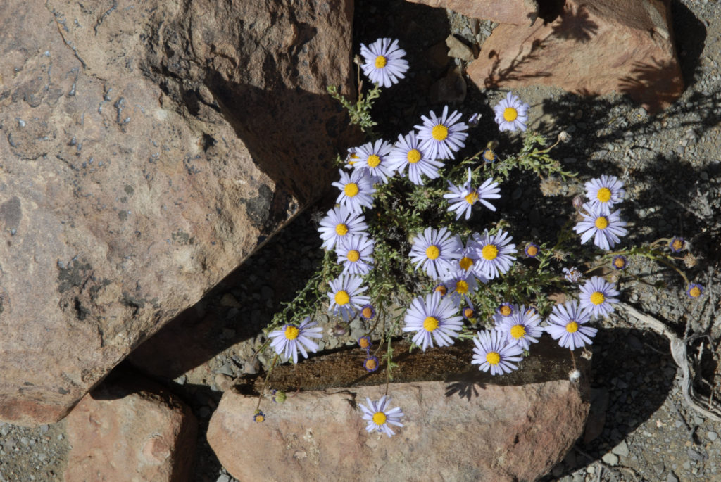 South Africa, Northern Cape Province: Karoo flowers