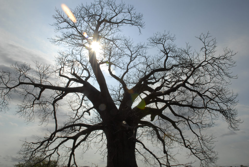 Limpopo province: Baobab tree