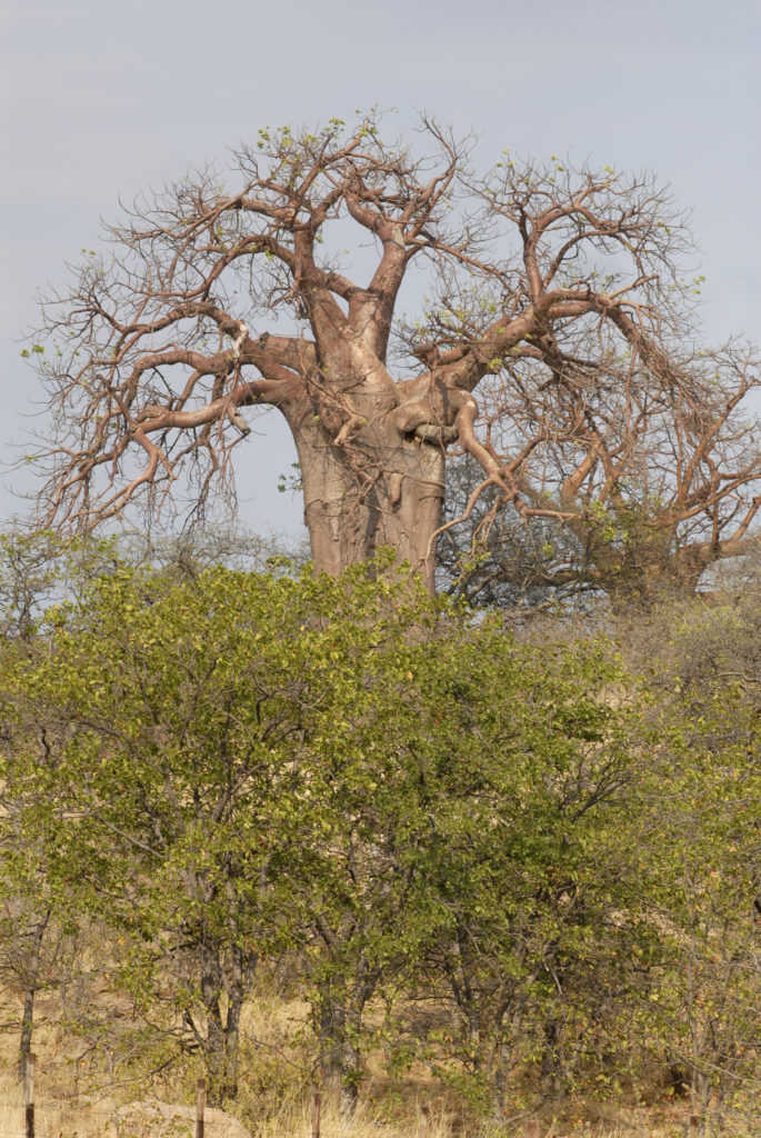 Limpopo province: Baobab trees