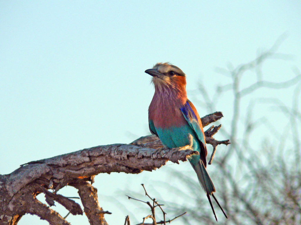 Limpopo province: Lilac-breasted roller in the Kruger National Park