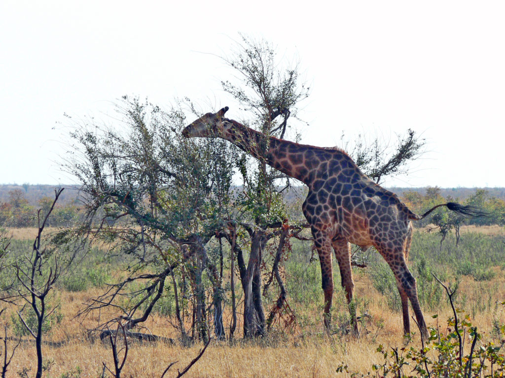 Limpopo province: Giraffe in the Kruger National Park