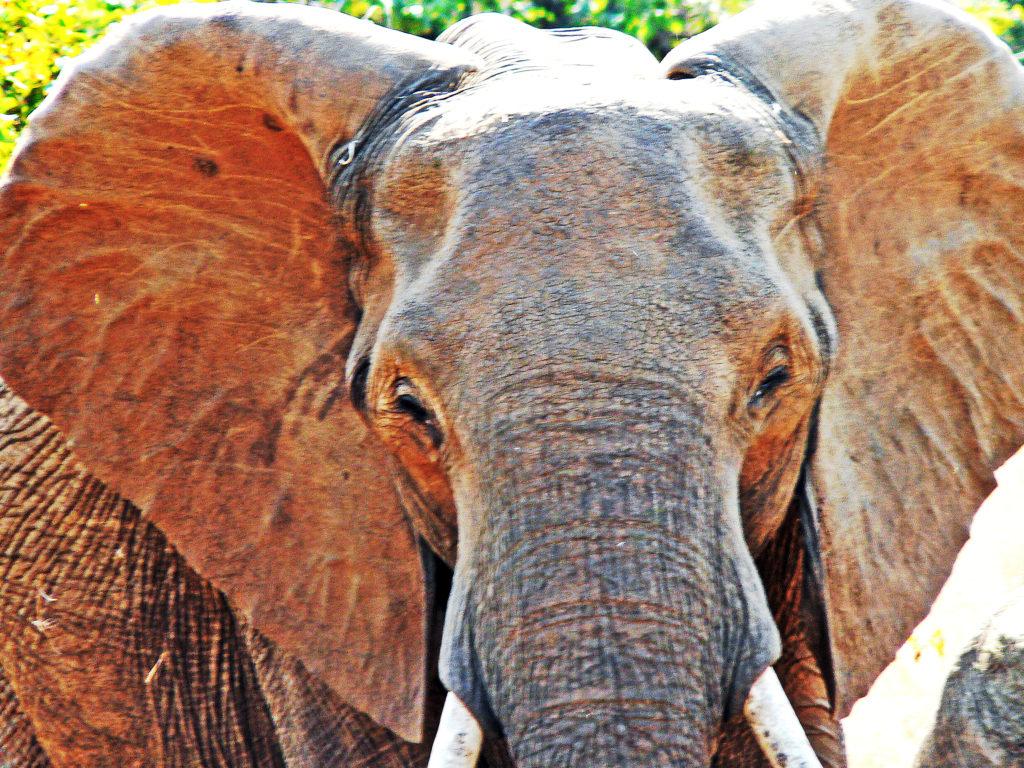 Limpopo province: Elephant in the Kruger National Park