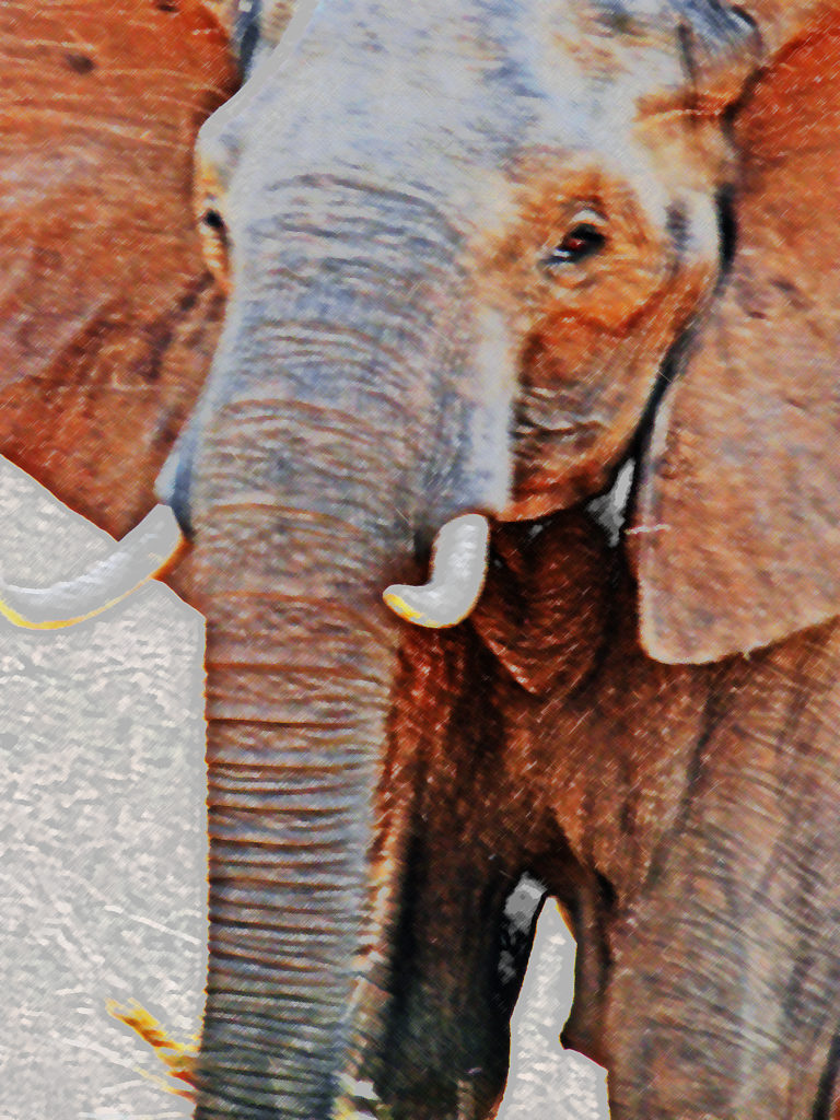 Limpopo province: Elephant in the Kruger National Park