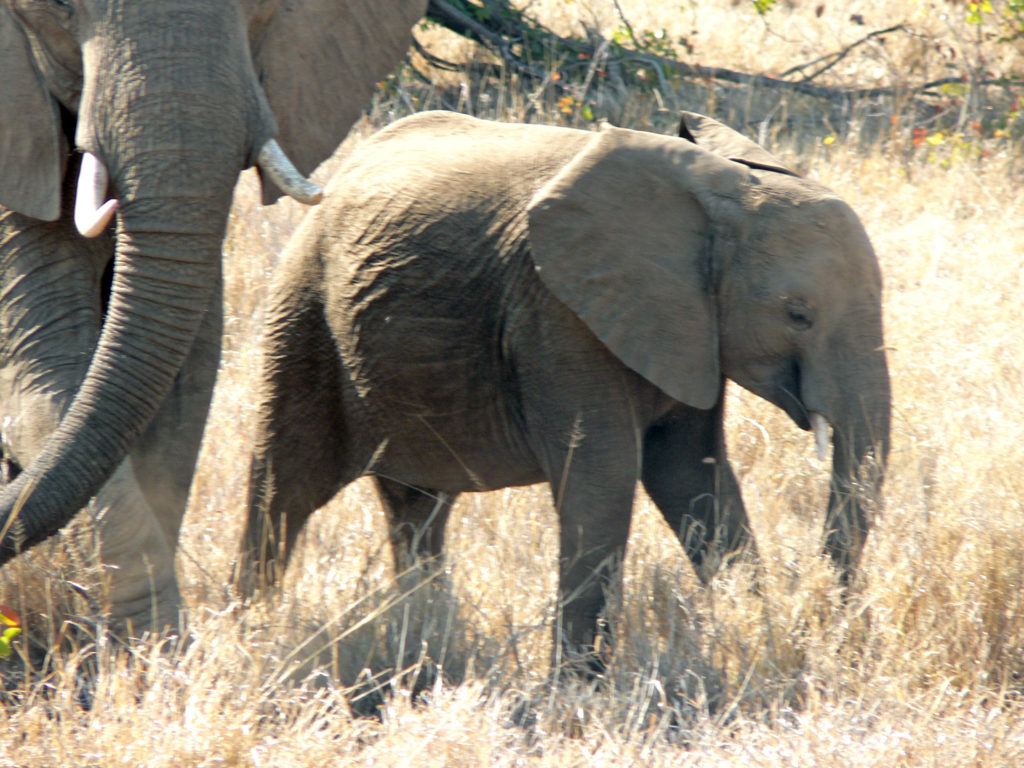 Limpopo province: Elephants in the Kruger National Park