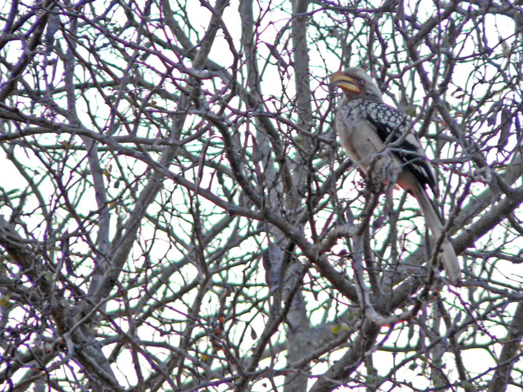 Limpopo province: Yellow hornbill in the Kruger National Park