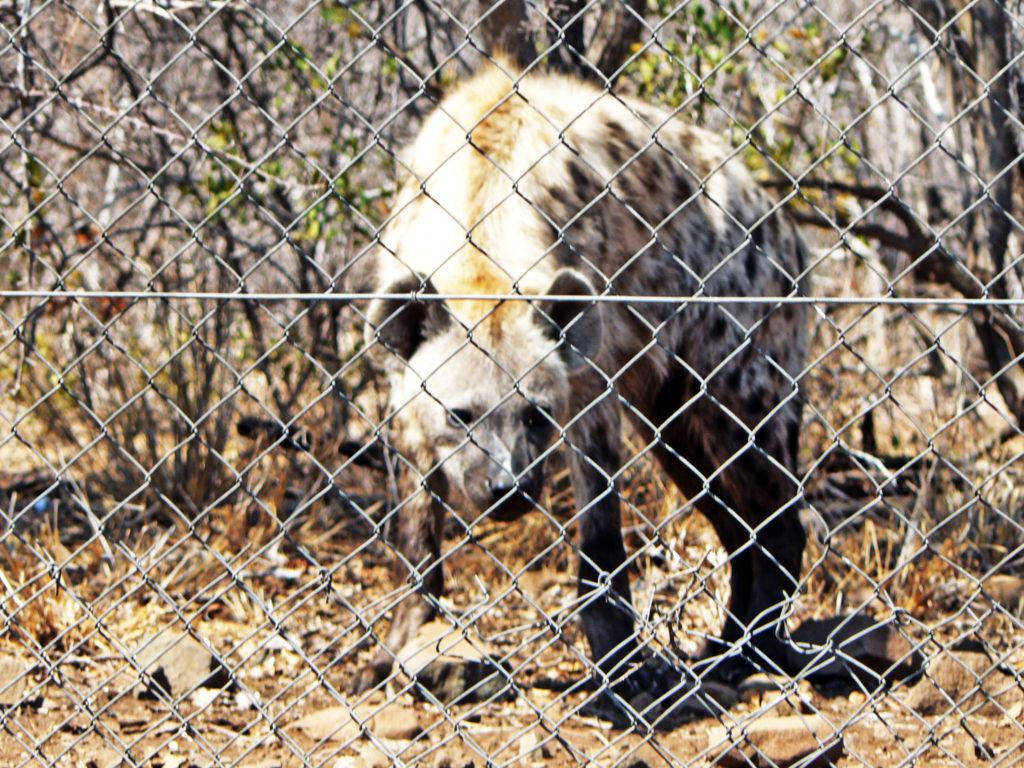 Limpopo province: Hyena, Kruger National Park
