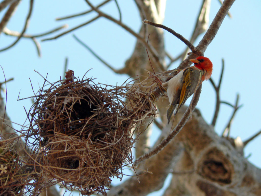 Limpopo province: Red-headed weaver attends to his nest in a baobab tree