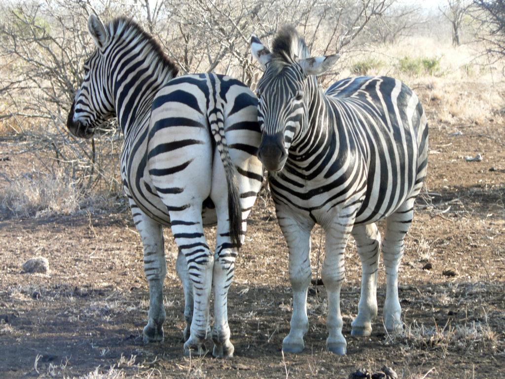 Limpopo province: Zebras in the Kruger National Park