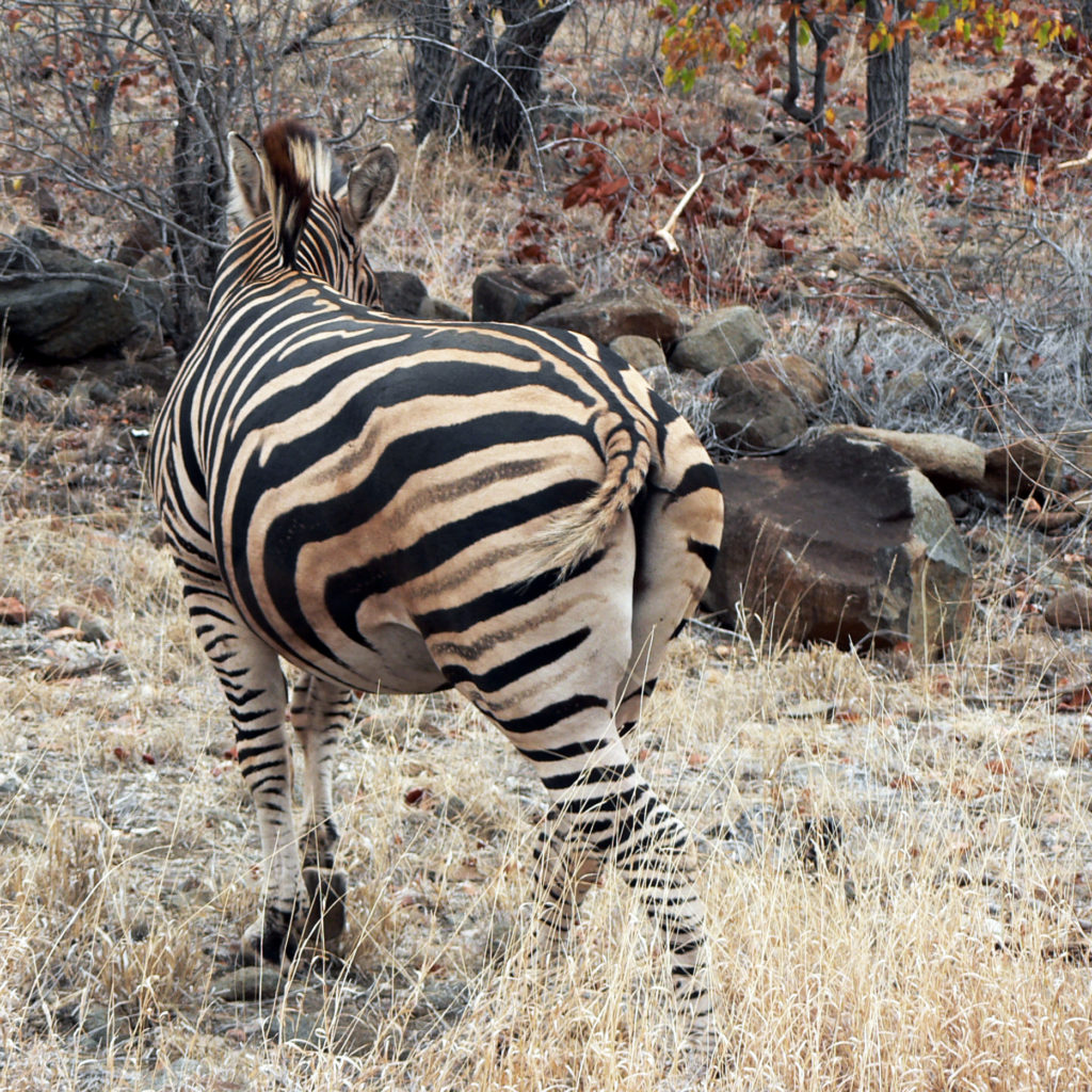 Limpopo province: Zebra in the Kruger National Park