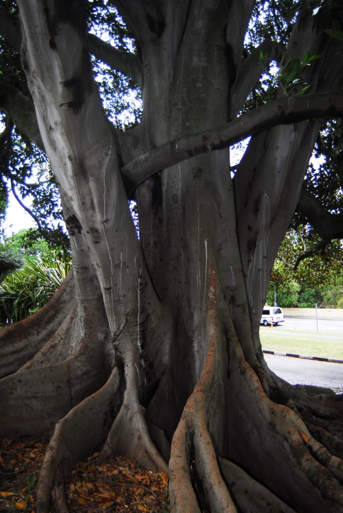 Cape Town, Western Cape: Trees on the estate of Cecil John Rhodes