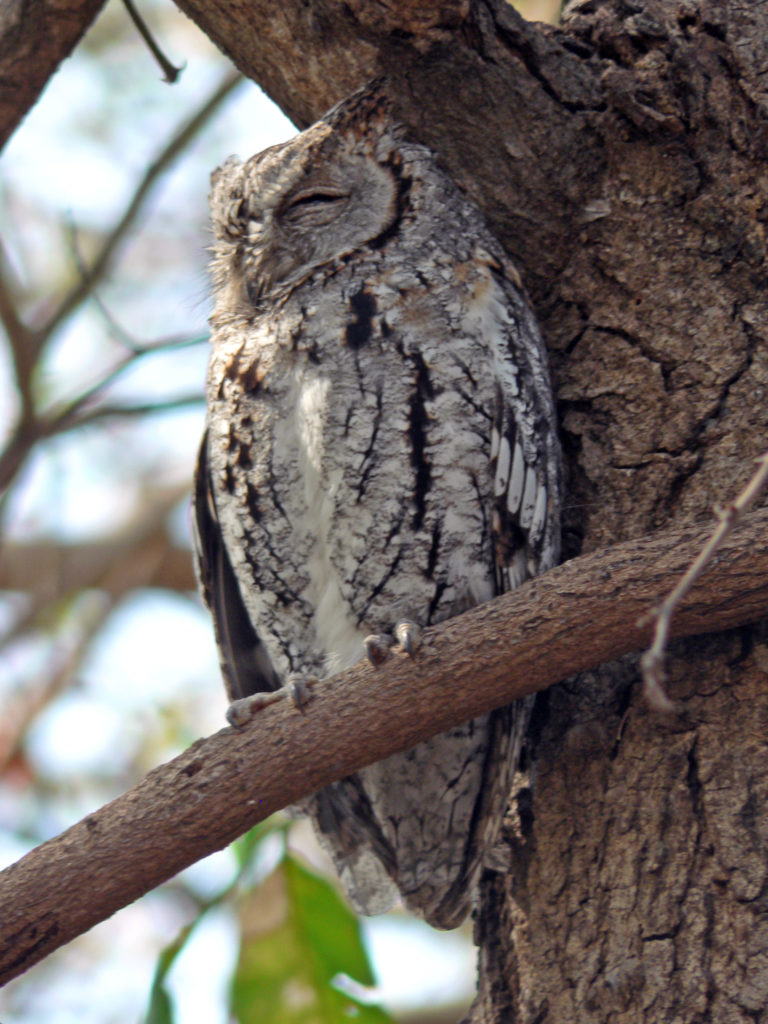 Limpopo province: A scops owl in the Kruger National Park