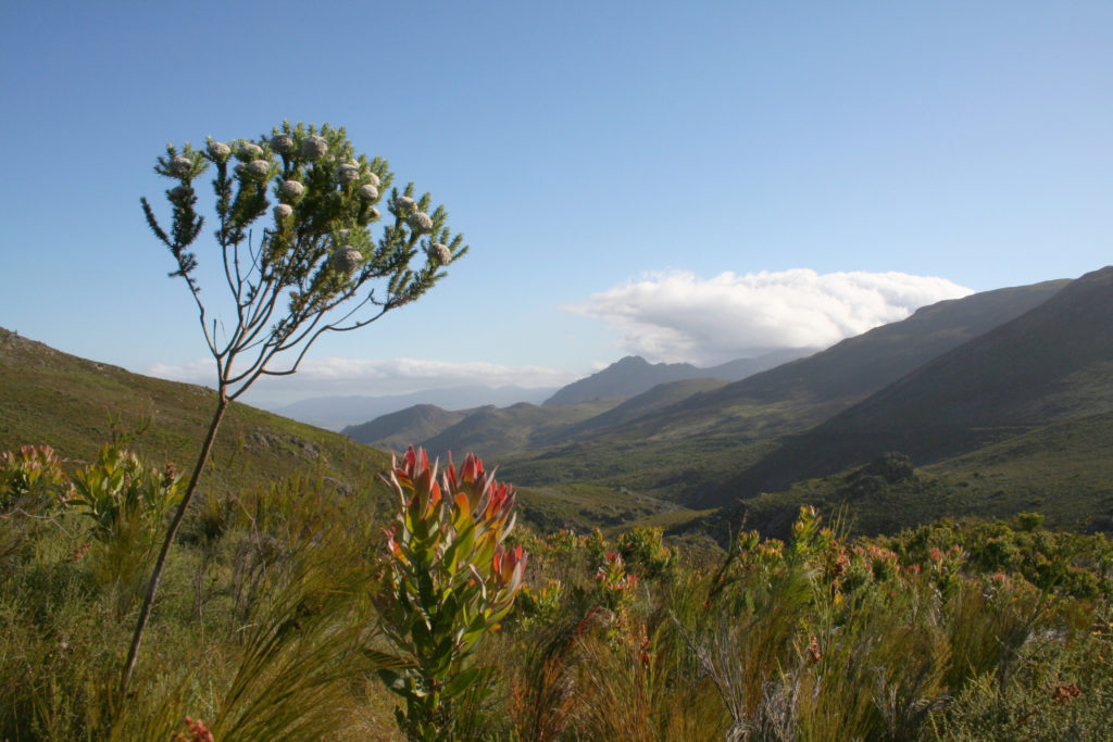 Franschhoek, Western Cape province: Fynbos and mountains