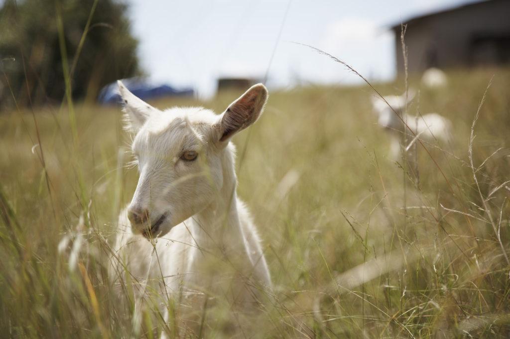 Swissland Cheese farm, KwaZulu Natal Midlands