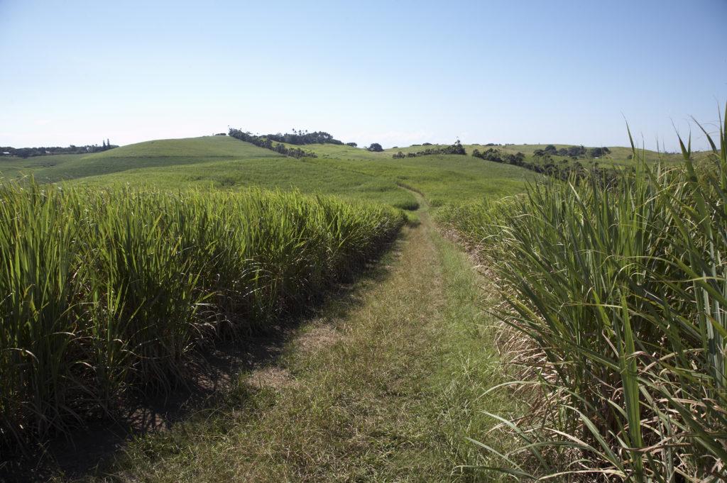 Sugarcane Fields, KwaZulu-Natal, North Coast