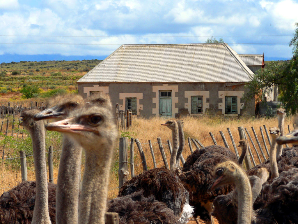Karoo region, Western Cape province: Ostriches