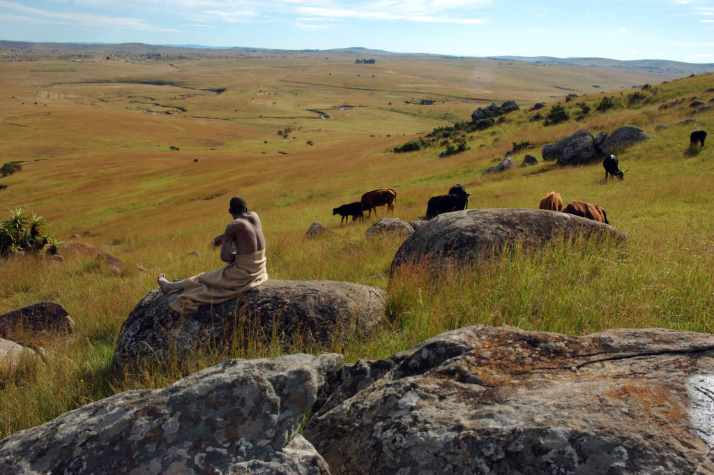Outside Qunu, Eastern Cape Province: Cattle graze in the fields
