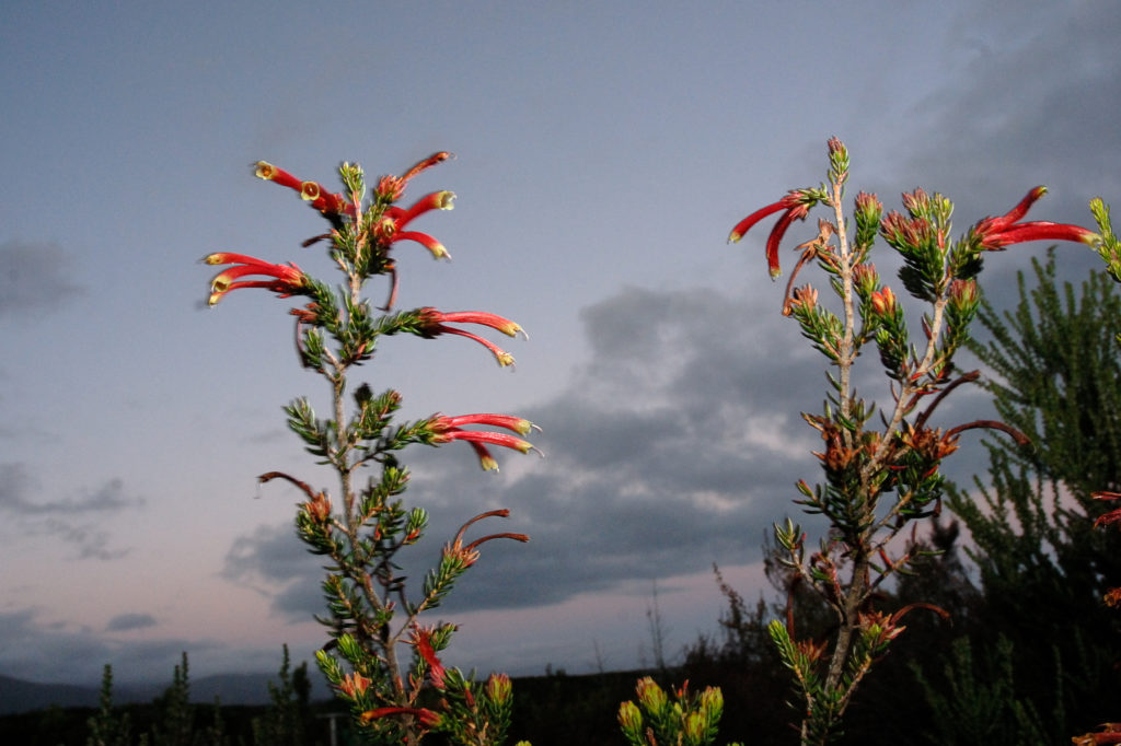 Eastern Cape province: Erica plant in the Tsitsikamma National Park