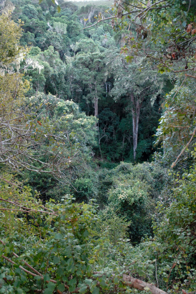 Eastern Cape: Indigenous forest in the Tsitsikamma National Park