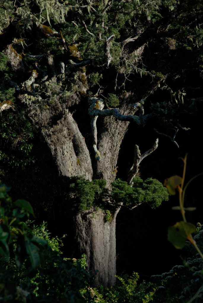 Eastern Cape province: Indigenous forest in the Tsitsikamma National Park