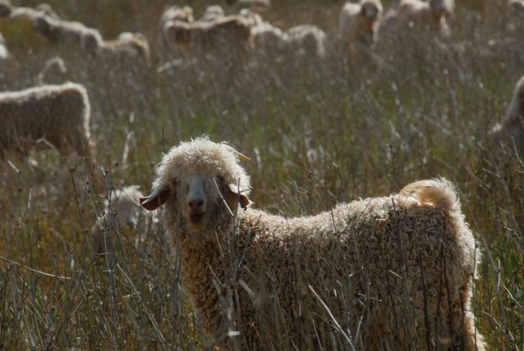 Mohair-producing Angora goats on a farm near Oudtshoorn, Western Cape