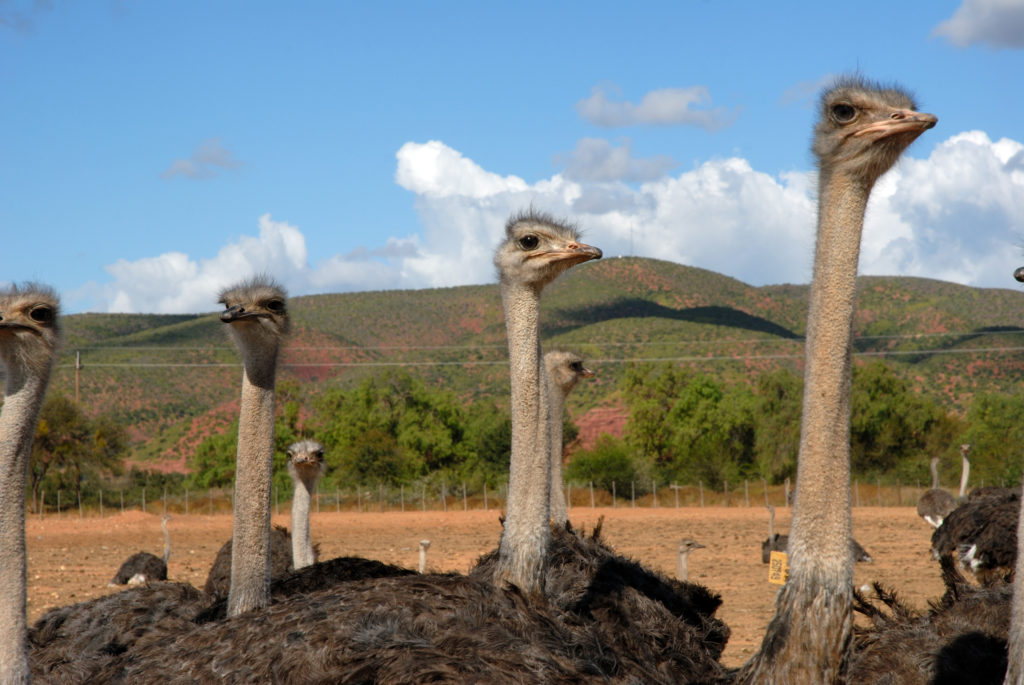 Western Cape province: An ostrich farm in the Oudtshoorn district