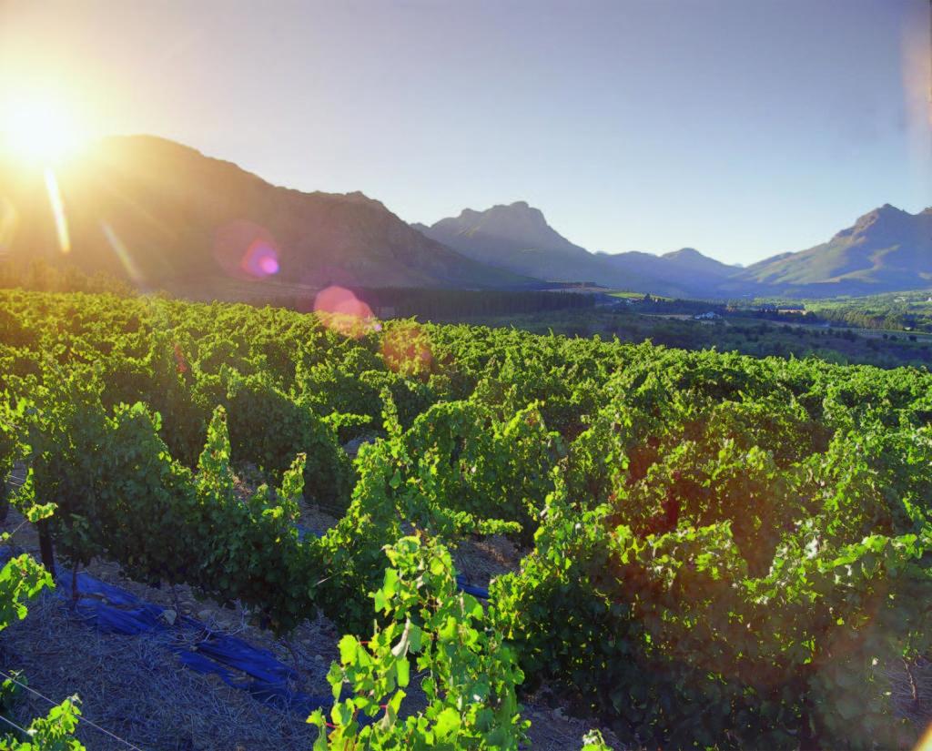 Blaauwklippen Wine Estate vineyards, near Stellenbosch, Western Cape