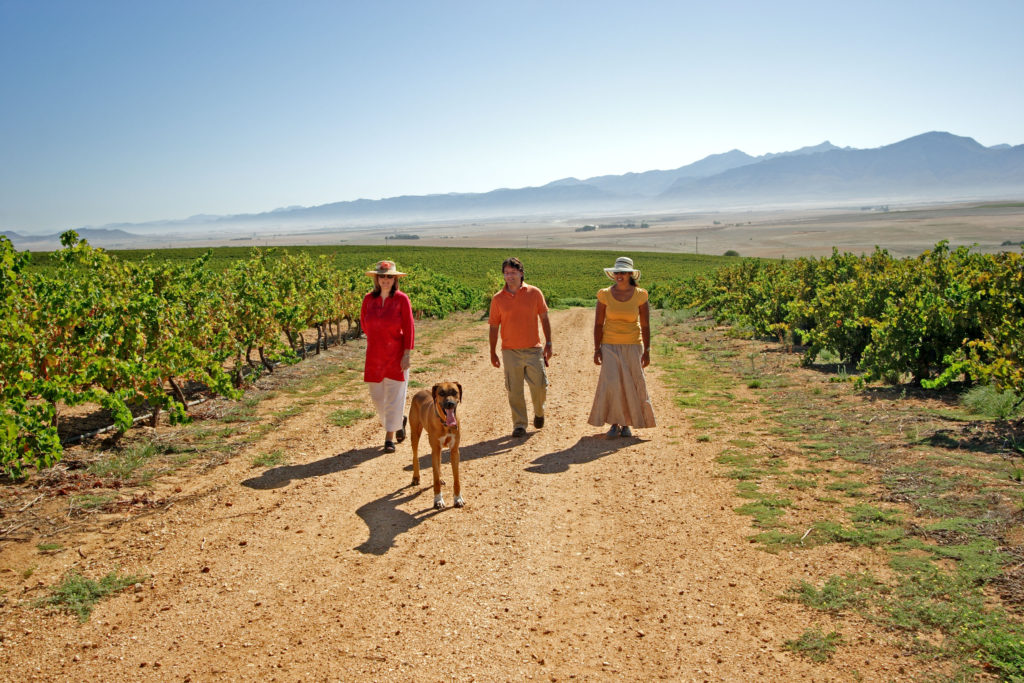 A walk in the vineyards of Riebeek Valley, in the Swartland region