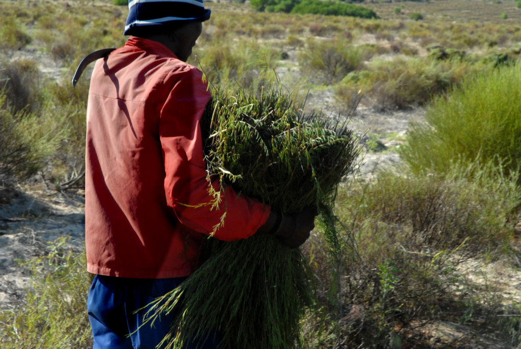 Western Cape province: Rooibos tea is harvested in the fields