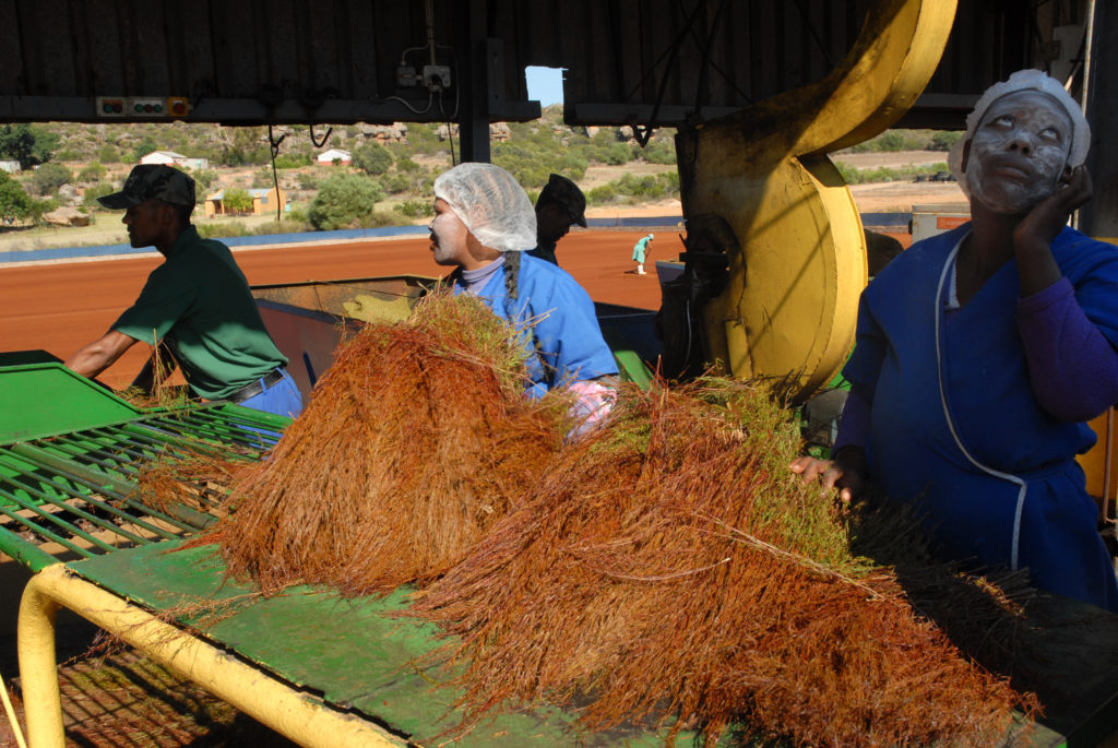 Western Cape province: Rooibos tea