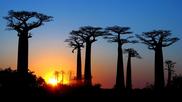 Avenue of the baobabs at sunrise blue and gold madagascar