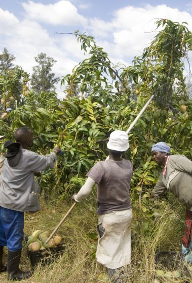 Hoedspruit, Limpopo province: Mango-picking at New Dawn farm