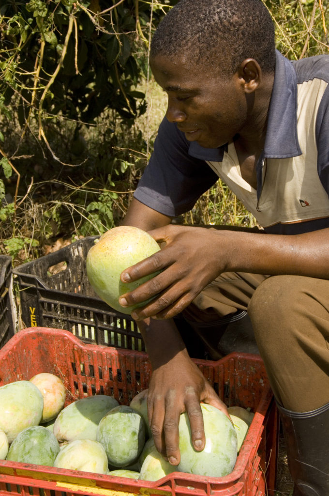 Hoedspruit, Limpopo: Willie Frost sorting mangoes after fruit picking at New Dawn farm