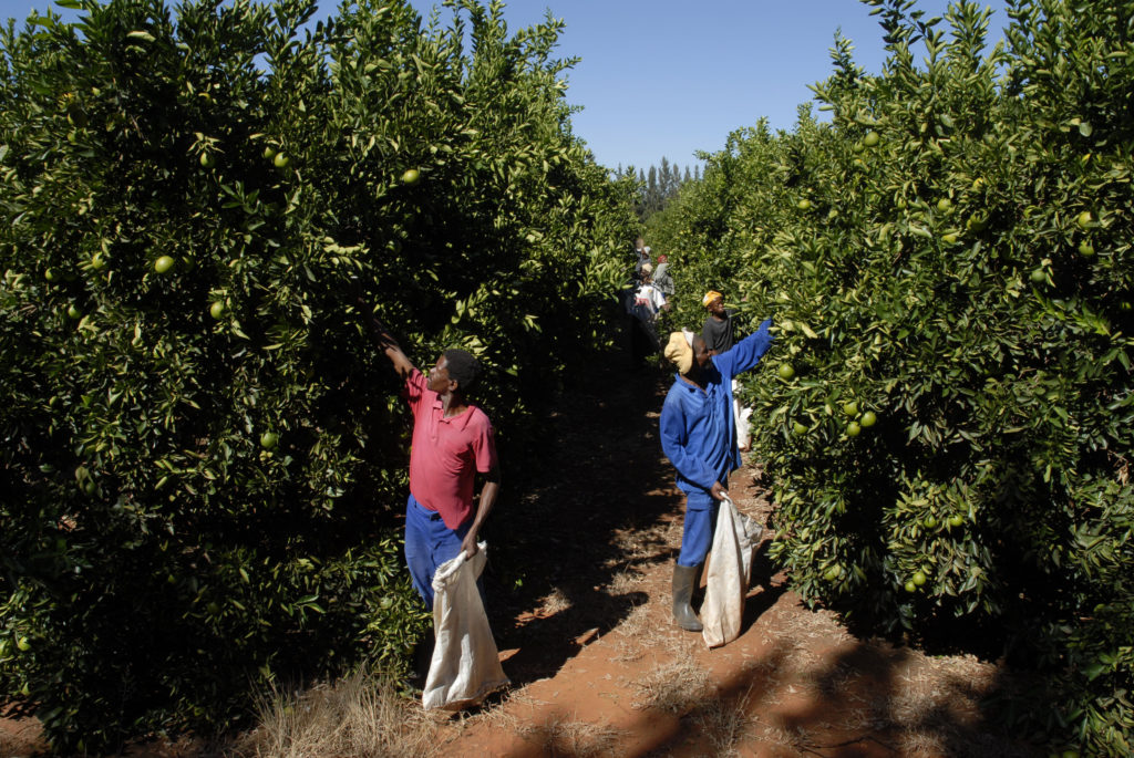 Northern Cape province: Orange pickers check for ripe fruit on a farm