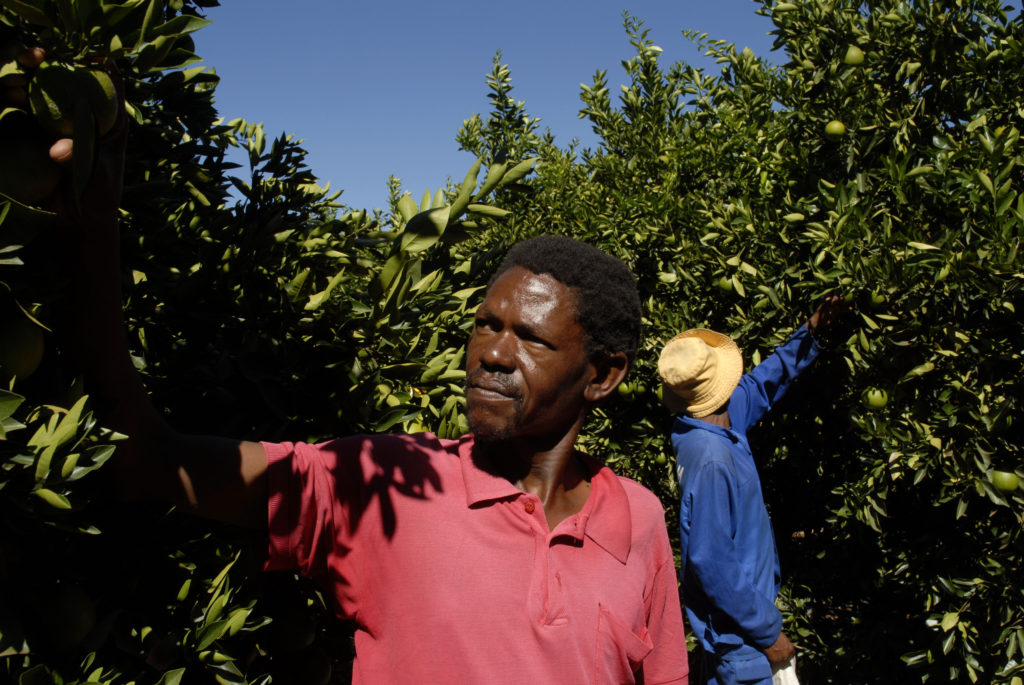 Northern Cape province: Fiecher Makae tests the oranges before picking takes place on a farm