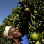Northern Cape province: Benjamen Setlhabi tests the oranges before picking