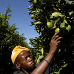 Northern Cape province: Robin Thole tests the oranges before picking