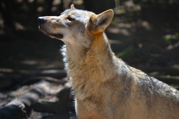 wc-knysnawolves