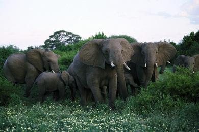 Elephant in the Kruger National Park