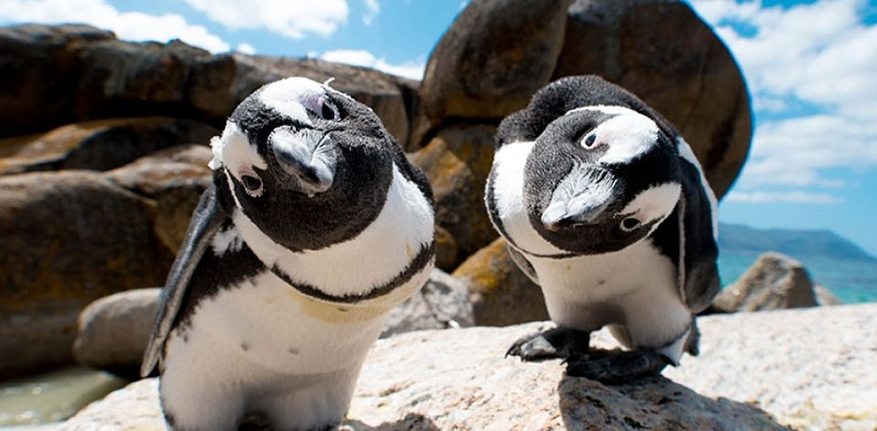 Boulders Beach: Boulders Beach, near Simon's Town, Cape Town, is renowned for its penguin population and picture-postcard family-friendly beaches. Boardwalk tours through the penguin colony give visitors a close-up view of the endangered African penguin.